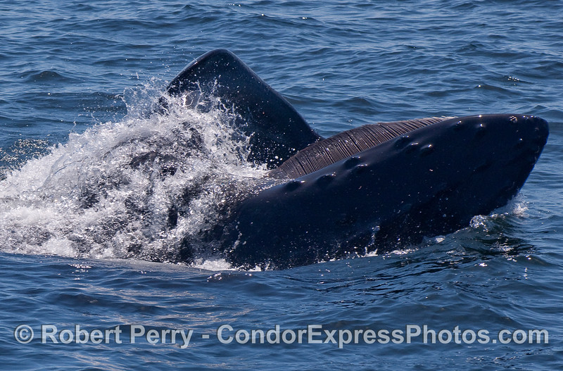 The numerous baleen plates along the left side of the upper jaw are seen as this Humpback Whale feeds on krill (Thysanoessa spinifera) on the surface.  The beast is on its side, head on the right.