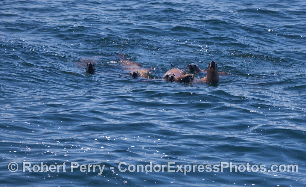 The pack of six - California Sea Lions (Zalophus californianus).