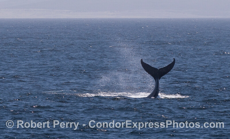 More dramatic lobtailing by a Humpback Whale.