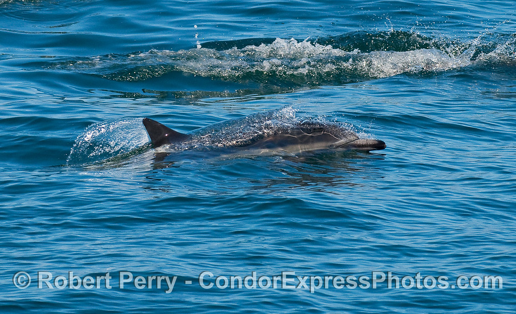A Common Dolphin (Delphinus capensis) keeps its eye on the camera as it zooms by.