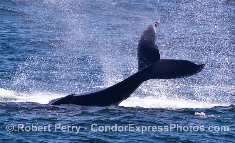 A big tail throw by a mighty Humpback Whale sends spray in all directions.