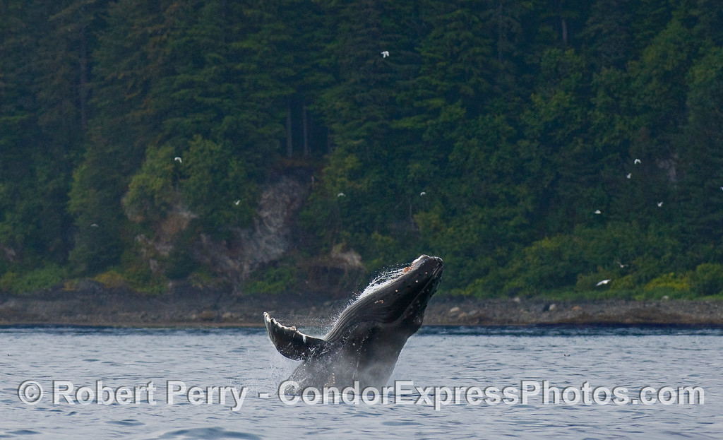 "A Humpback calf playing around in shallow water...the rest, including a breach right next to mom, are filed under ""Whales with Baleen"" at www.MarineBioPhotography.com"