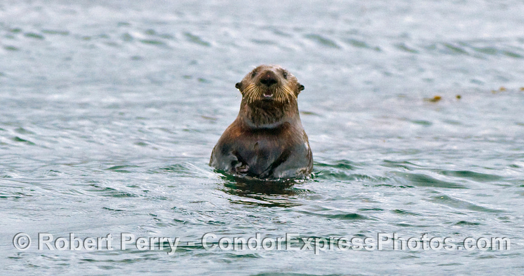 "A curious Sea Otter....the rest, including a mom and her pup, are filed under ""Other Furry Mammals"" at www.MarineBioPhotography.com"