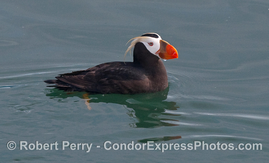 "Tufted Puffin...the rest are filed under ""Birds, Mostly Marine"" at  <a href=""http://www.MarineBioPhotography.com"">http://www.MarineBioPhotography.com</a>"