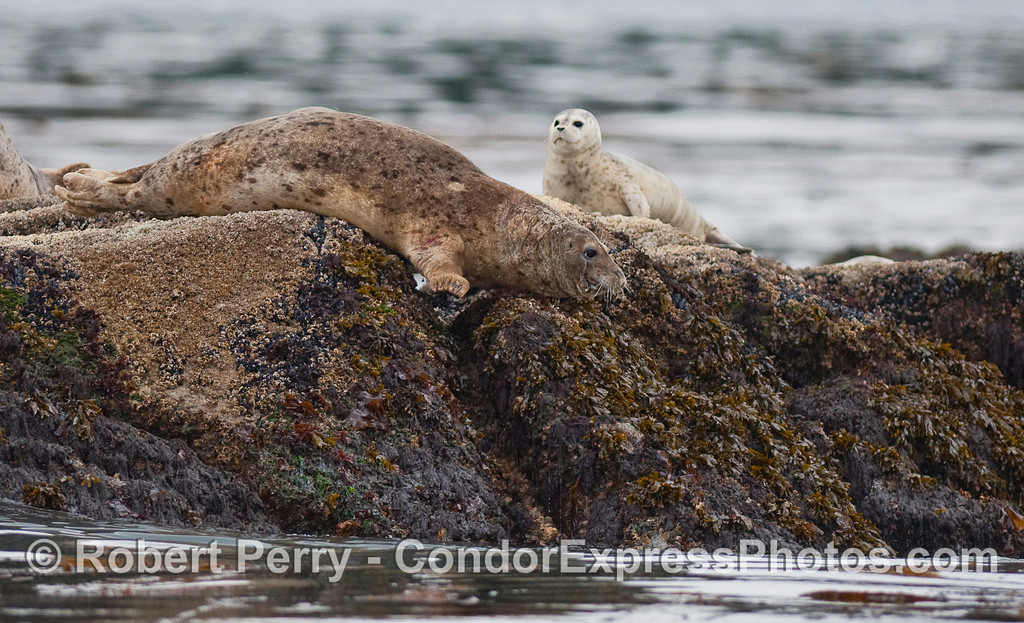 "As previously mentioned, the Harbor Seals are in their own gallery... filed under ""Seals and Sea Lions"" at  <a href=""http://www.MarineBioPhotography.com"">http://www.MarineBioPhotography.com</a>"