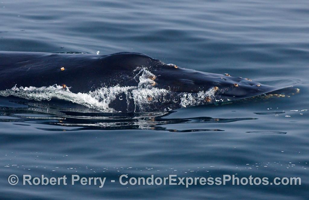 Humpback Whale head.