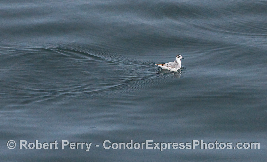 A Red-necked Phalarope (Phalaropus lobatus) feeding on the same krill as the whales, but one at a time.