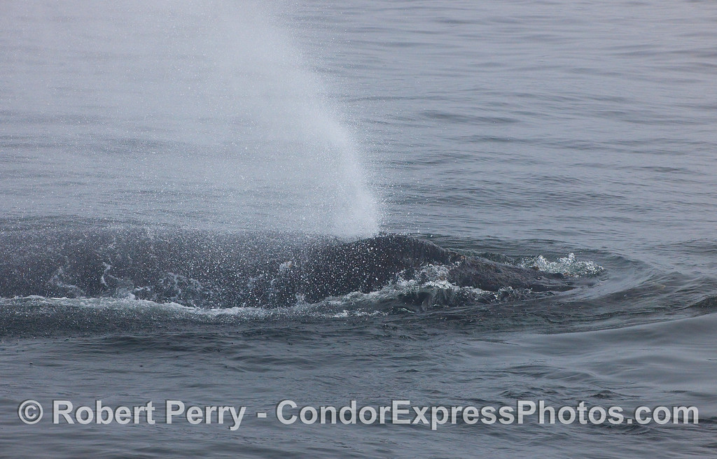A.Humpback Whale sends out a massive spray of water from its blowhole.