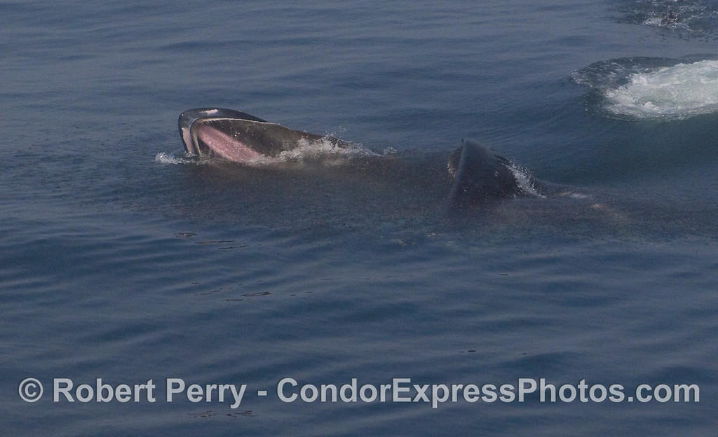 Image 3 of 6:  A Humpback Whale feeds on a big patch of krill.  Now the lower jaw can be seen as the whale closes its huge mouth around the entire mass of crustaceans.