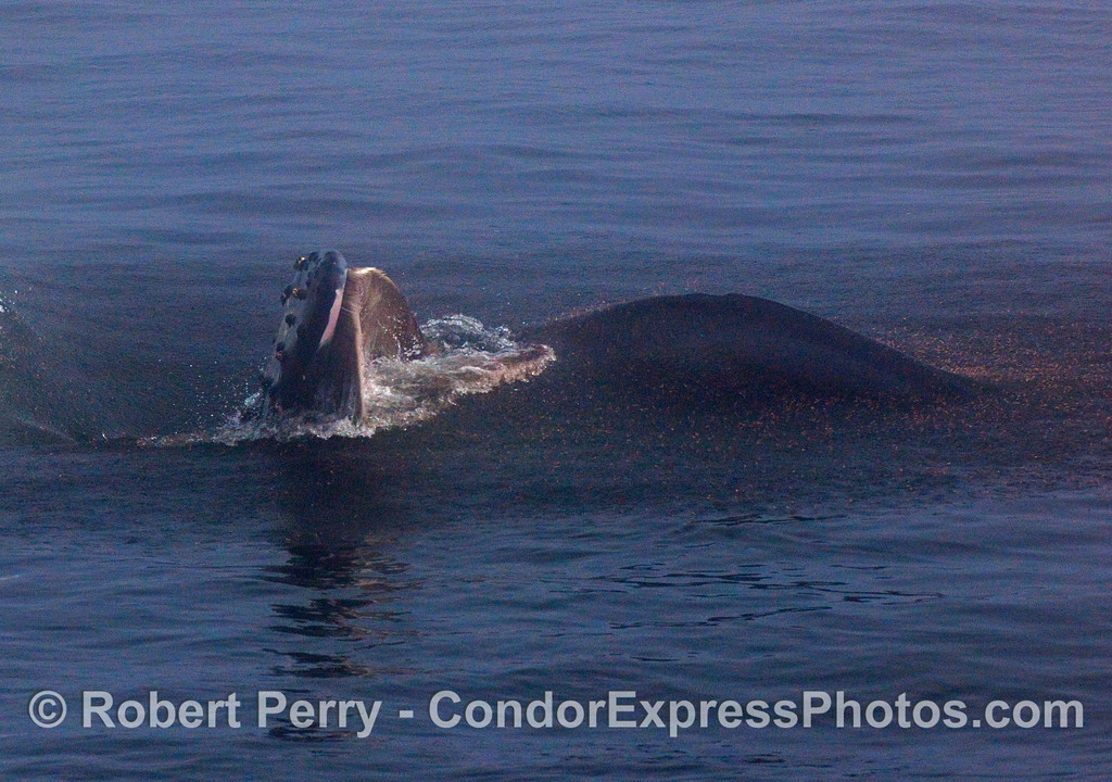 Millions of krill (Thysanoessa spinifera) are seen jumping out of the water to escape the on-coming open mouth of a surface lunge feeding Humpback Whale. The upper jaw with its baleen can clearly be seen. Image 2 of 3.