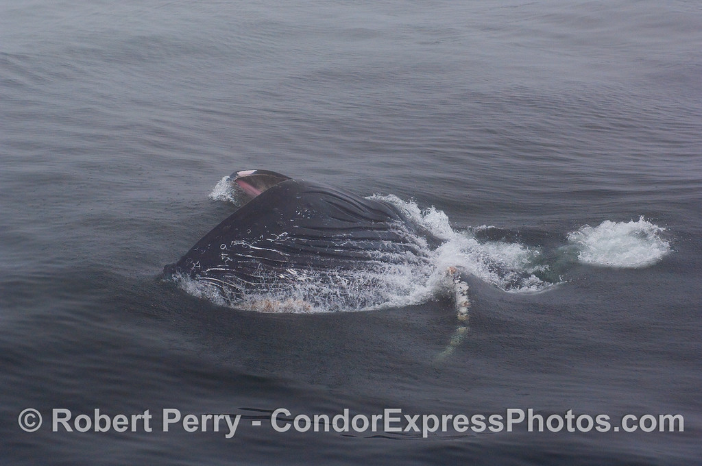Image 2 of 3:  A Humpback Whale feeds on krill at the surface using a sideways lunge.  The long pectoral fin can be seen under the water.