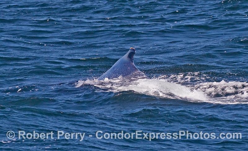 """The """"hump"""" of a Humpback Whale...dorsal fin."""