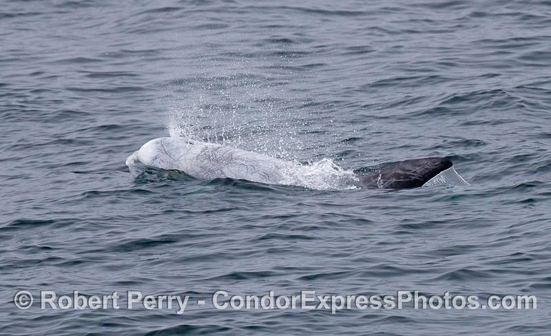 Risso's Dolphin.