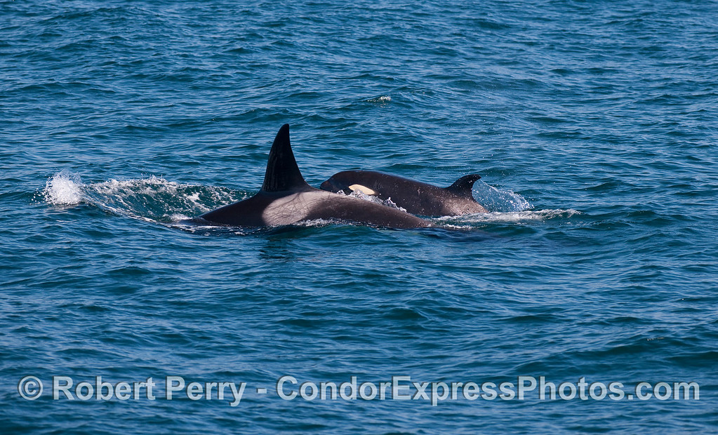 Orcinus orca cow & calf 2010 09-09 SB Channel - 108