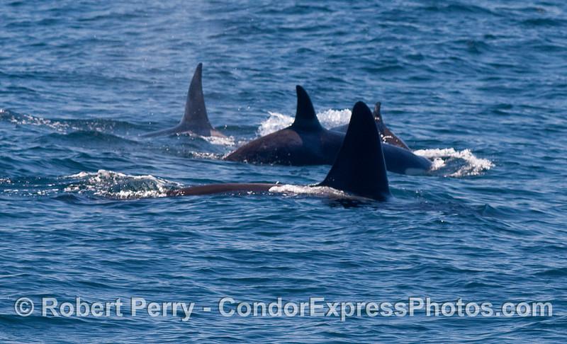 Orcinus orca four 2010 09-09 SB Channel - 294