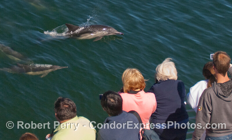Delphinus capensis & passengers 2010 09-09 SB Channel d - 011