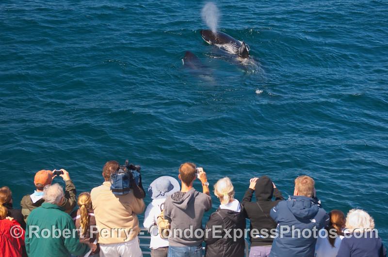 Orcinus orca 2 & passengers 2010 09-09 SB Channel b - 057