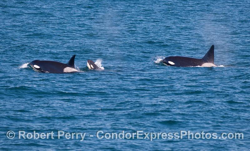 Orcinus orca male female calf 2010 09-09 SB Channel - 137