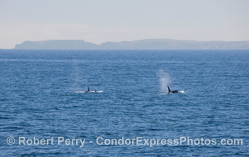 Orcinus orca 3 & Anacapa in back 2010 09-09 SB Channel a - 043