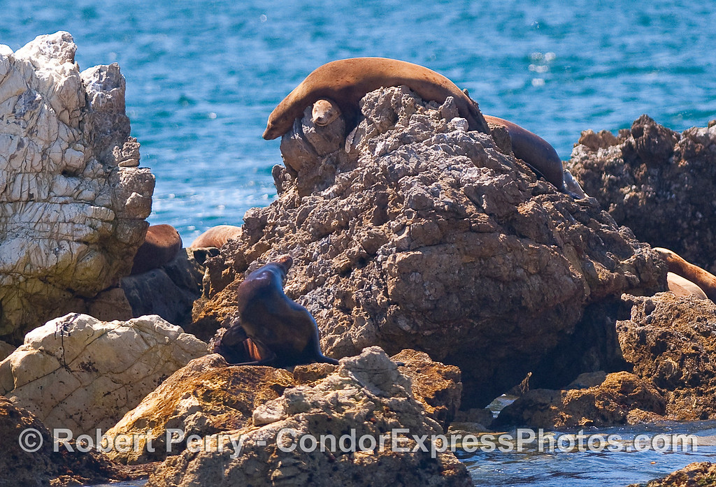 Zalophus californianus on rocks 1 on top of other 2010 09-09 Sta Cruz Island - 010