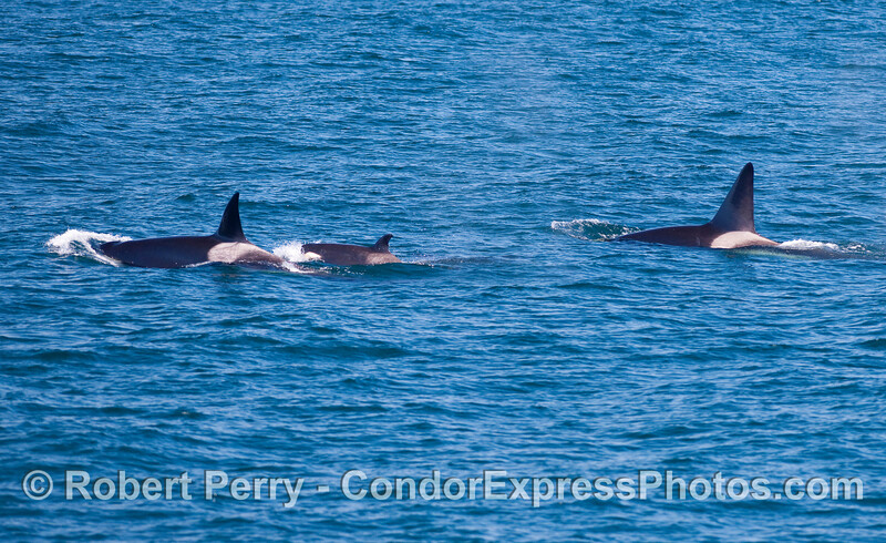 Orcinus orca male female calf 2010 09-09 SB Channel - 138