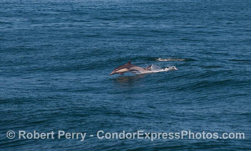 Delphinus capensis leap 2010 09-09 SB Channel c - 017