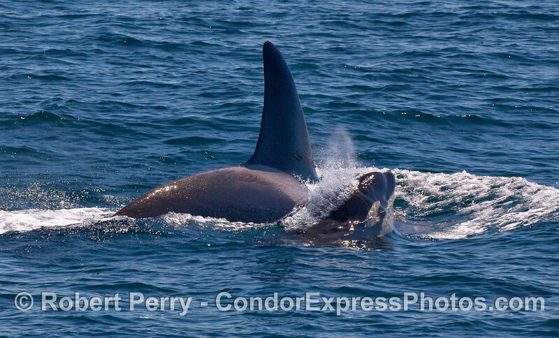 Orcinus orca cow & calf CLOSE 2010 09-09 SB Channel a - 060