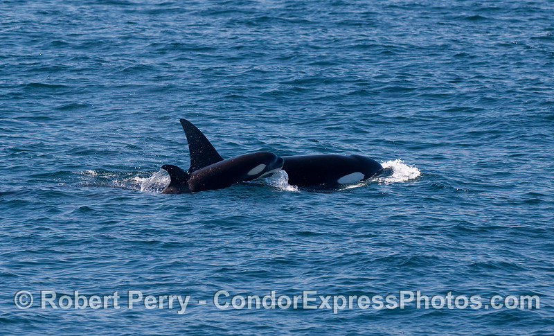 Orcinus orca  cow & calf 2010 09-09 SB Channel - 253