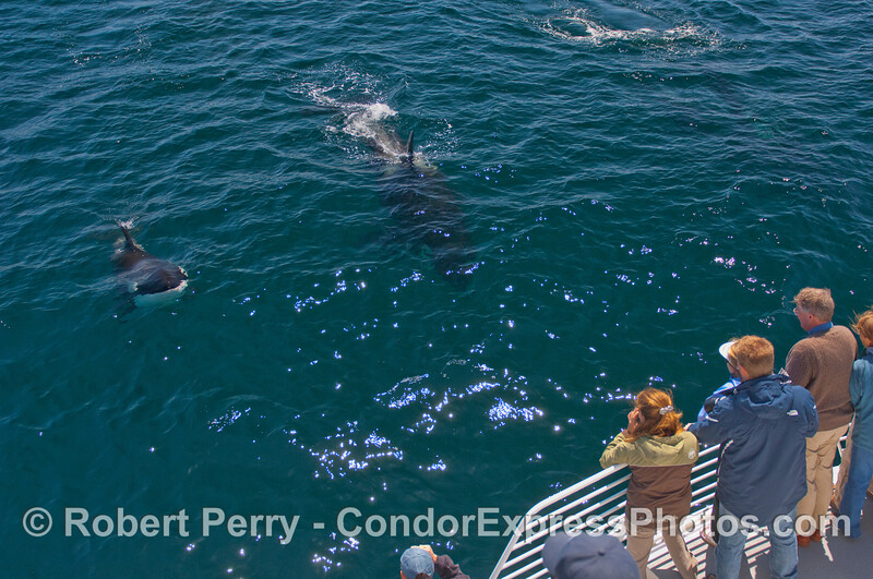 Orcinus orca & passengers 2010 09-09 SB Channel b - 080