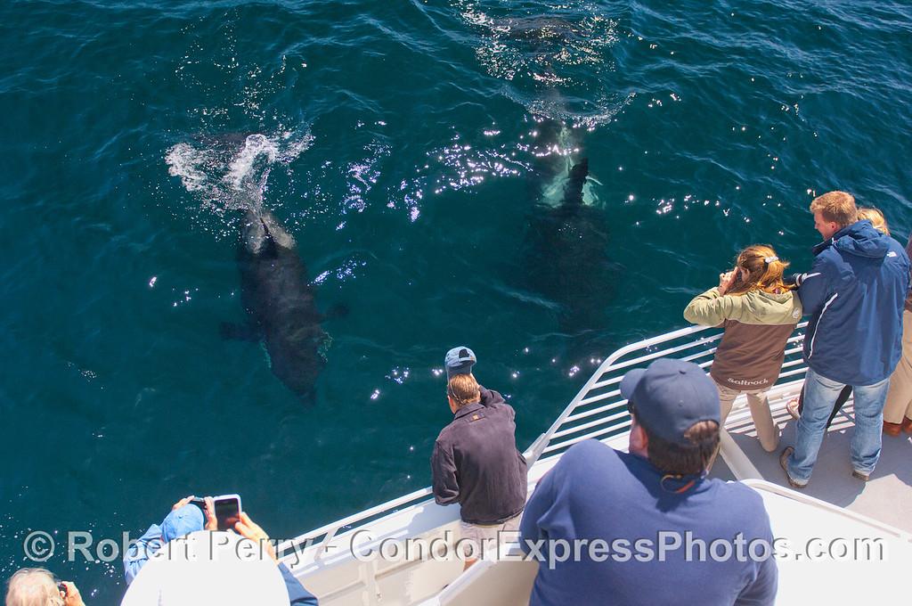 Orcinus orca & passengers 2010 09-09 SB Channel b - 084