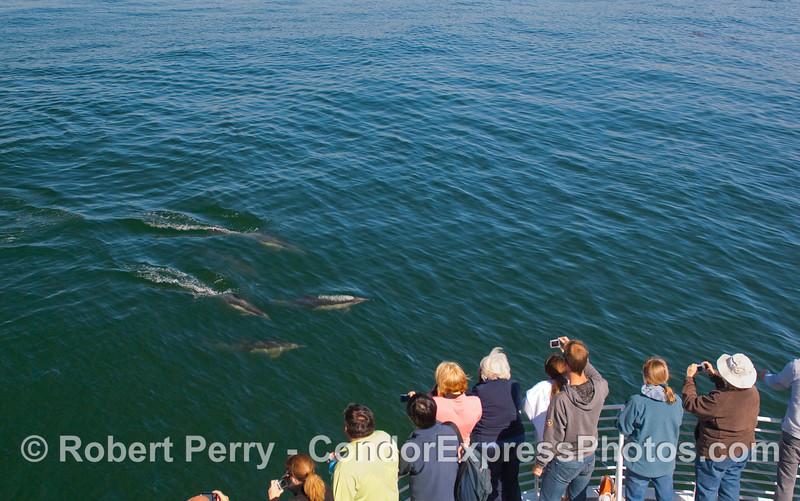 Delphinus capensis & passengers 2010 09-09 SB Channel d - 010