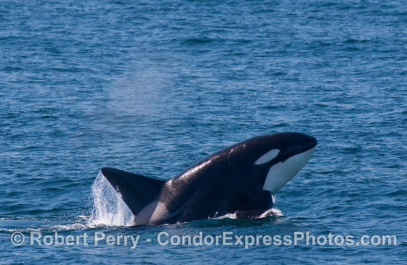Orcinus orca male CLOSE 2010 09-09 SB Channel - 240