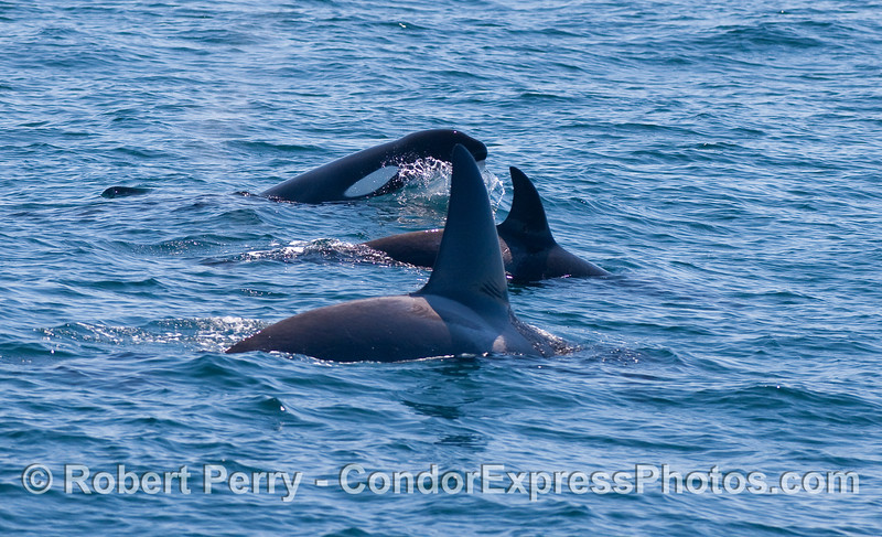 Orcinus orca three 2010 09-09 SB Channel - 299