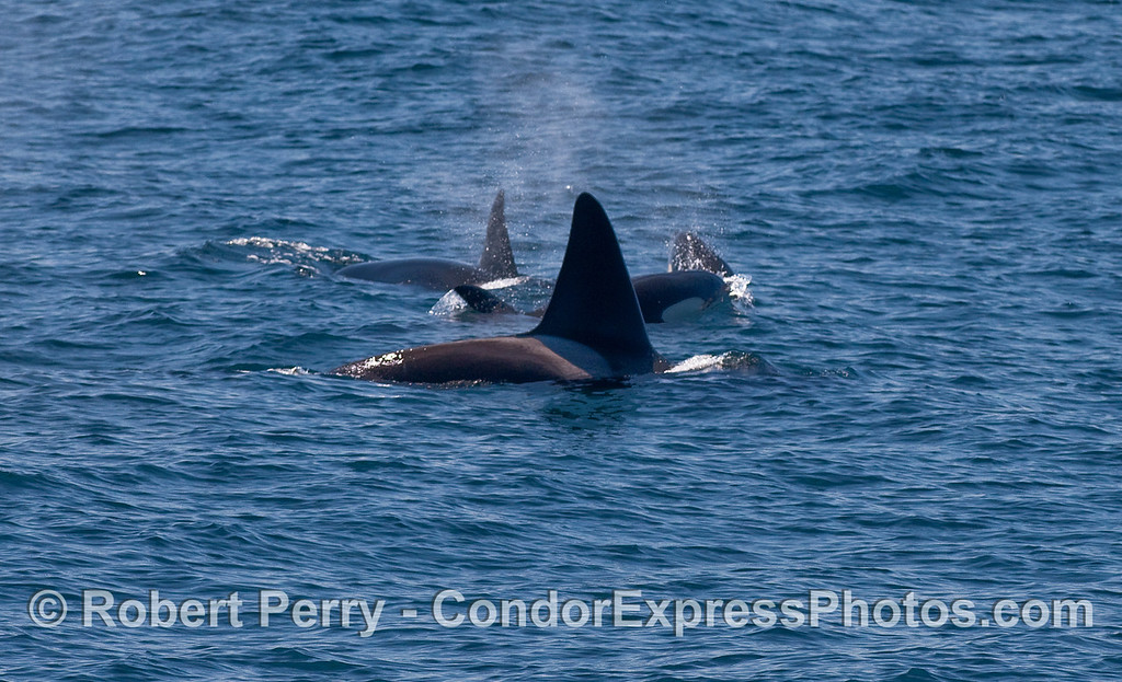 Orcinus orca four 2010 09-09 SB Channel - 293