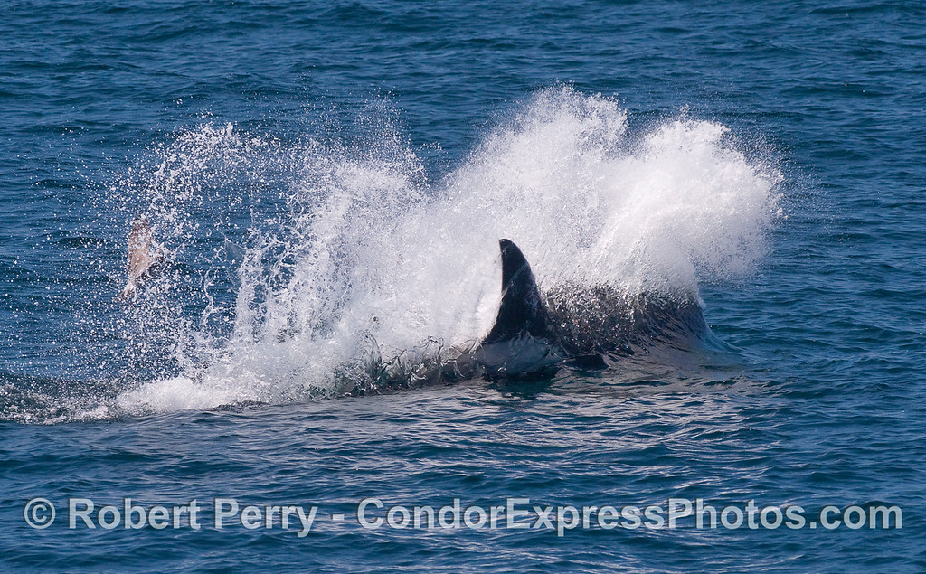 Image 2 - an Orca takes a high speed pass at the sea lion.