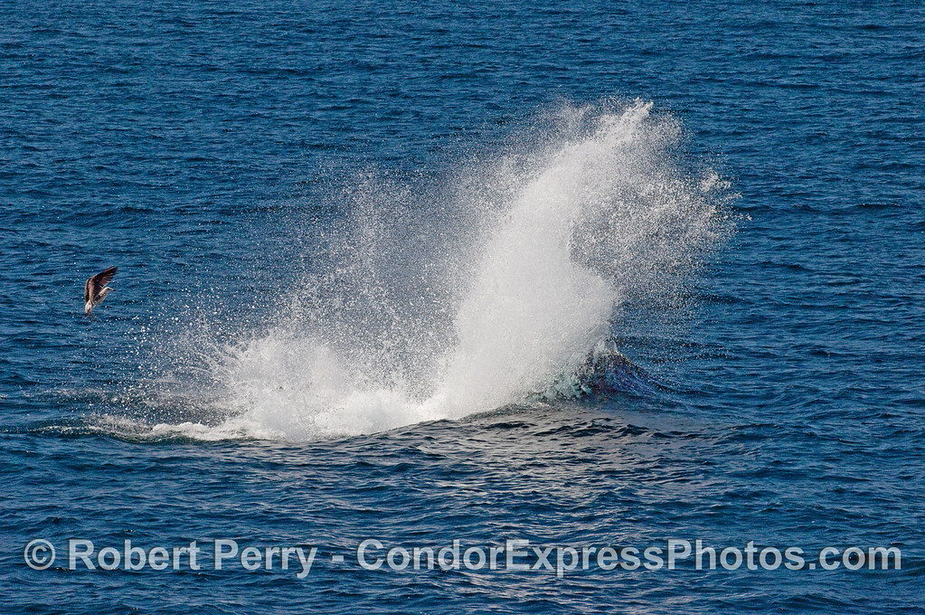 Image 3 - the Orca sends up a big plume of spray as it seemed to attach the sea lion.  A hungry gull looks on.<br /> Epilogue:  the sea lion was not eaten; no blood or apparent injuries...it swam away.