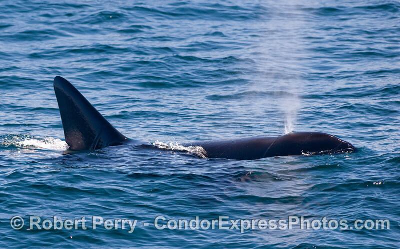 Orcinus orca spout 2010 09-09 SB Channel - 313