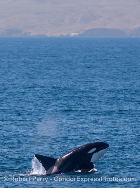 Orcinus orca male & Sta Cruz Isl in back 2010 09-09 SB Channel - 240