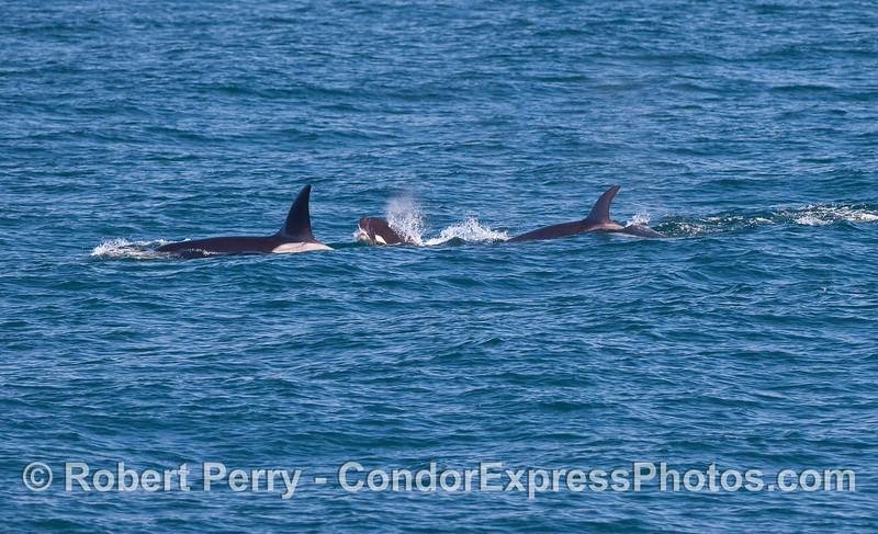 Orcinus orca male female calf 2010 09-09 SB Channel - 135