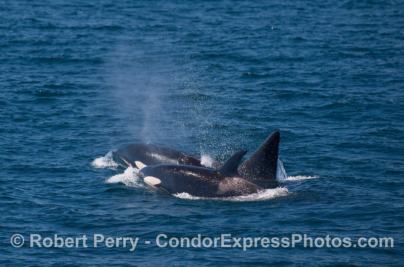 Orcinus orca three 2010 09-09 SB Channel a - 065