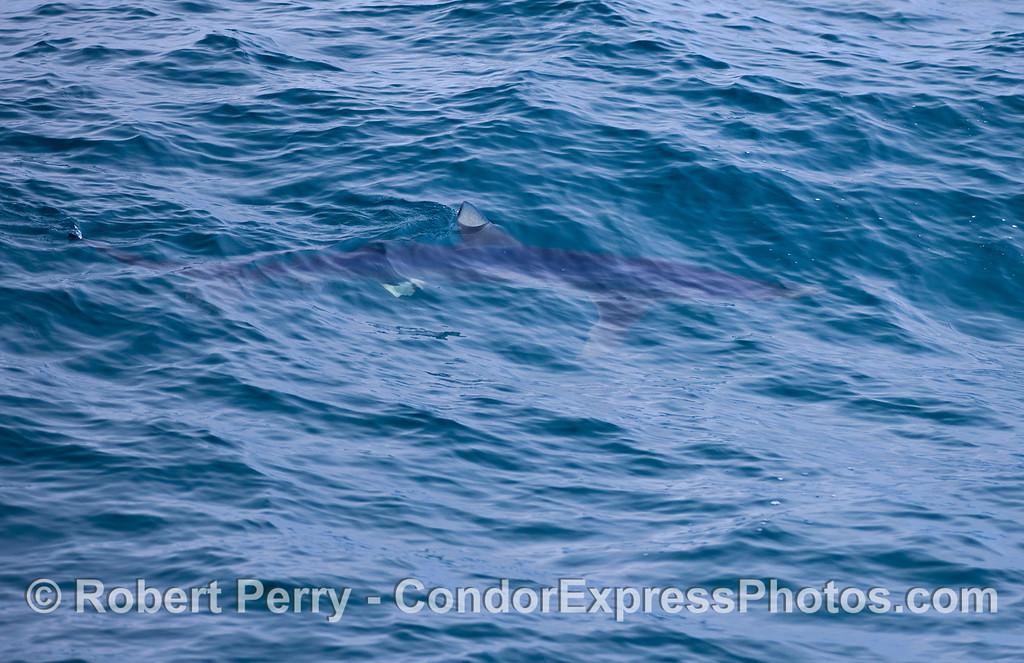 Blue shark.