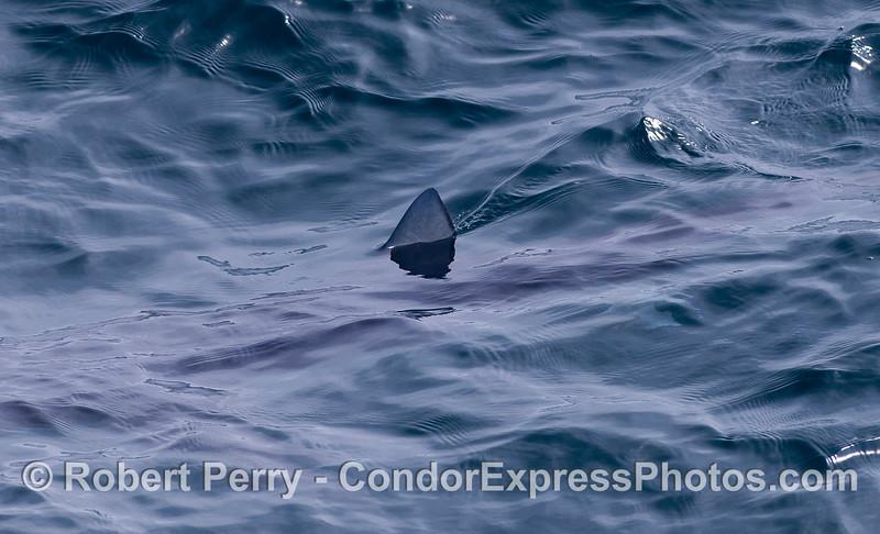 Dorsal fin of a blue shark.