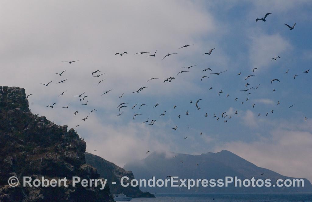 North east looking west & Pelecanus occidentalis flock 2010 09-18 Anacapa Island - 101