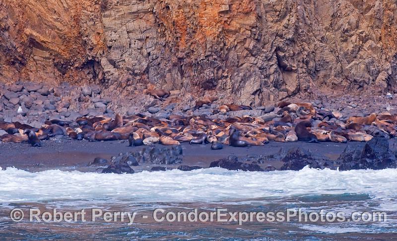 Zalophus californianus hauled out 2010 09-18 Anacapa Island - 006