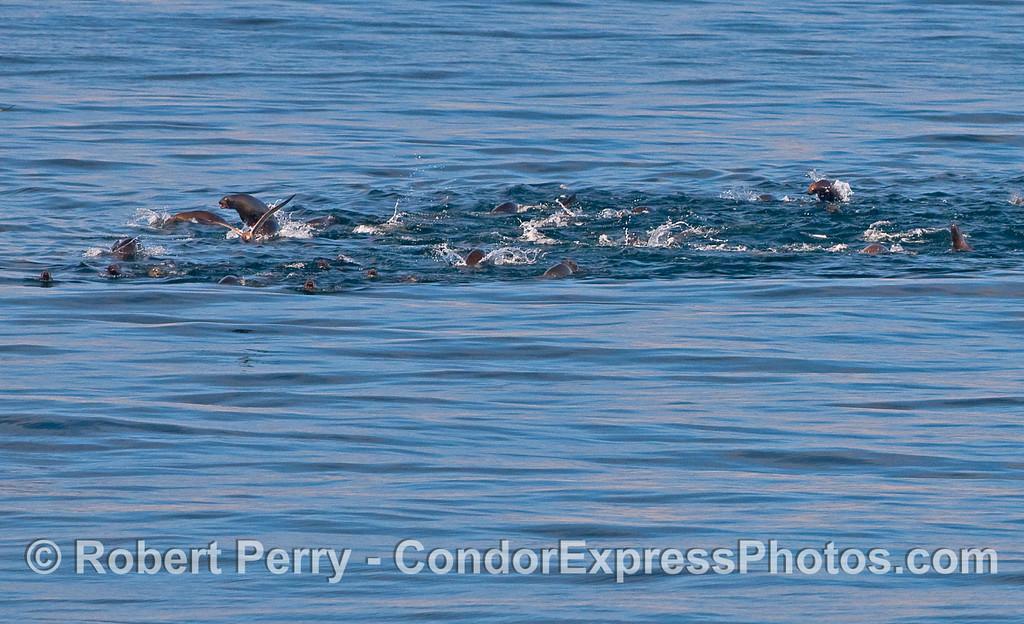 Zalophus californianus mob on the run 2010 09-18 Anacapa Island - 001