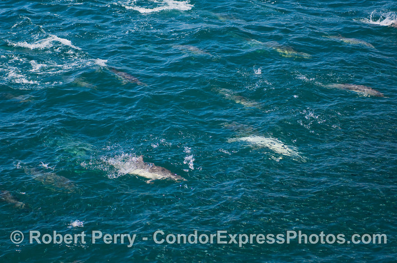 Image 1 of 3:  Common dolphins attack a big school of anchovies.