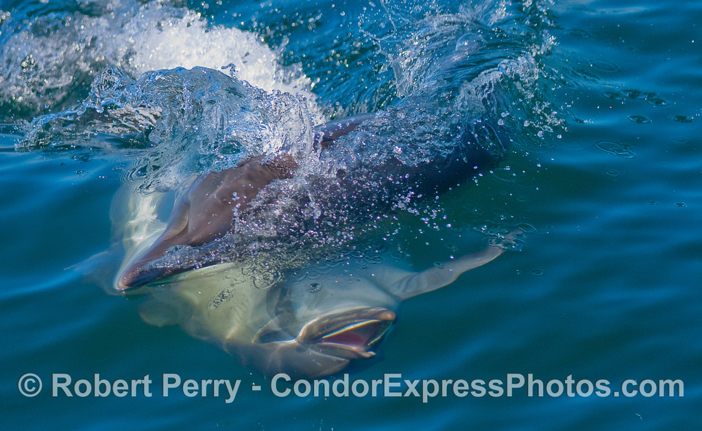 Common dolphins fooling around.