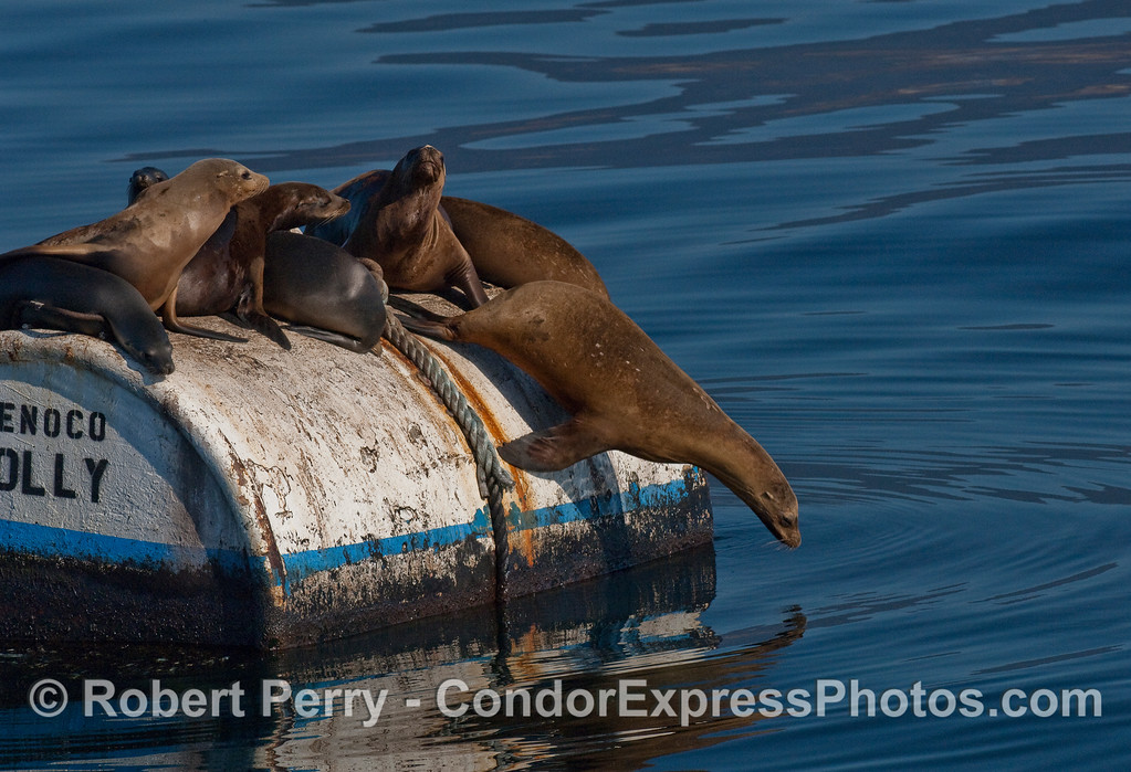 California sea lion (Zalophus californianus) takes a plunge.