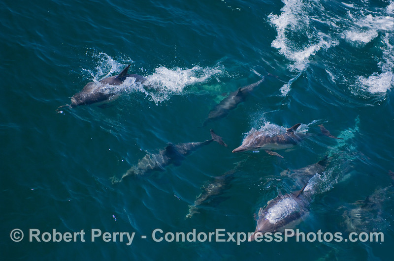 A mass of friendly common dolphins.