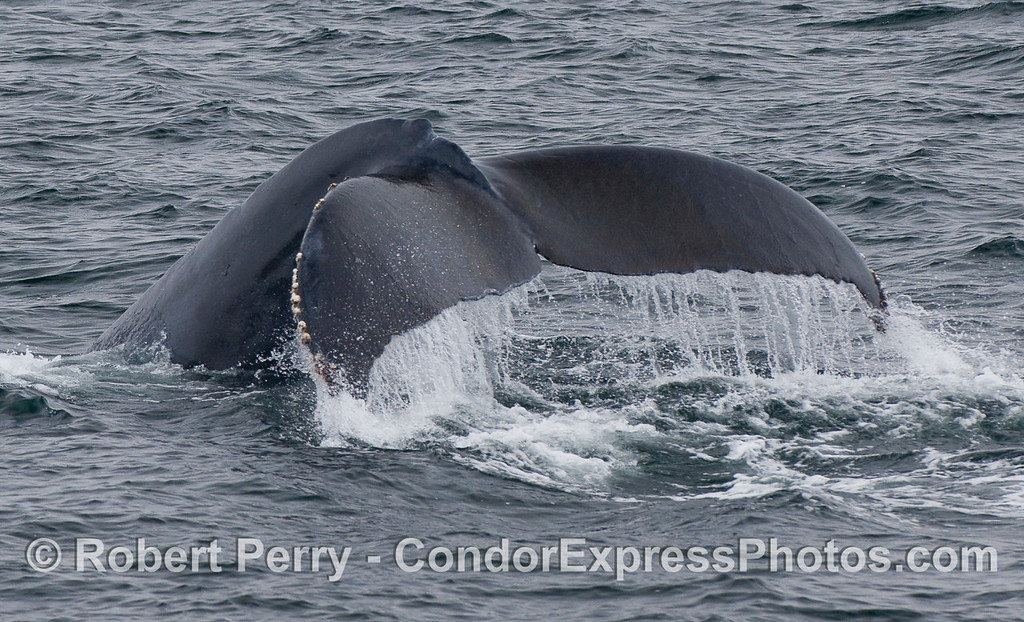 Image 2 of 4:  A mighty Humpback Whale tail fluke waterfall.